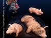 Mantis_animalset23_cochon